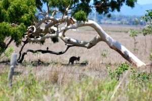Kangaroos escaping the hot midday sun under a tree