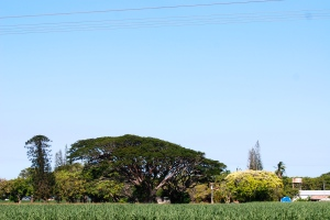 These huge fig trees remind me of Barbados