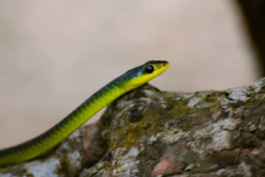 Green Tree Snake close up