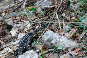 Lace Monitor or Spotted Goanna