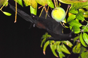 Fruit Bat feasting in the mango trees